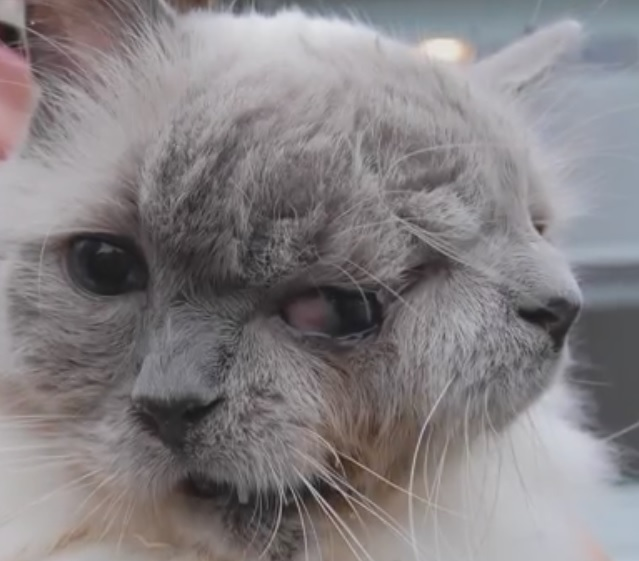Frank and Louie, the world's oldest two-faced cat, has died aged 15