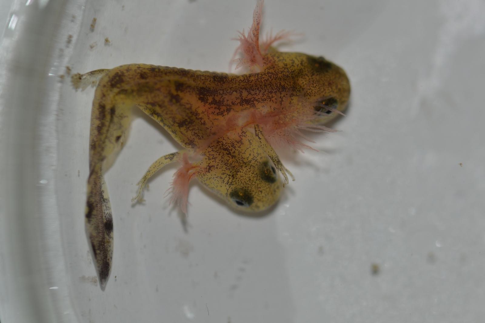 two-headed salamander