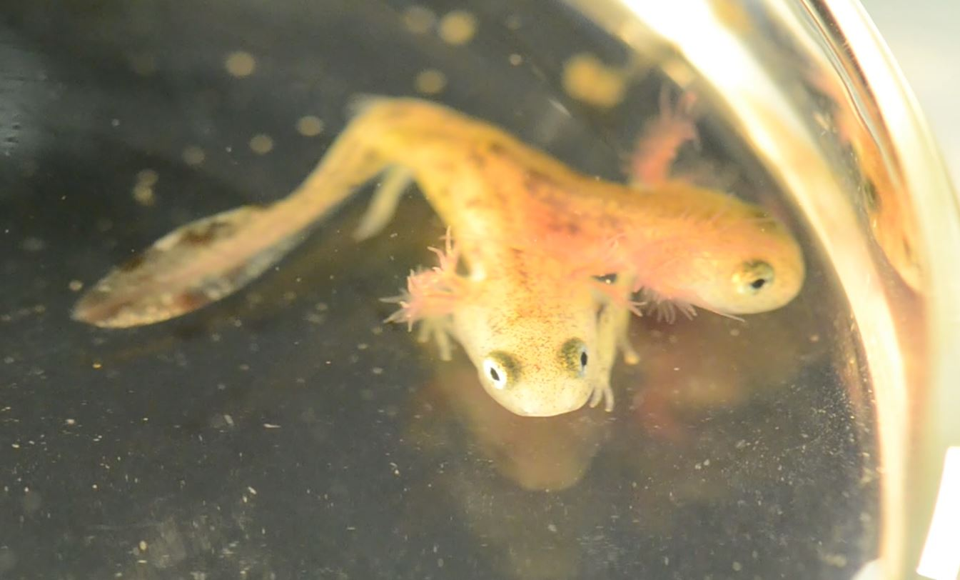 'Radioactive' two-headed mutant salamander found in Israel
