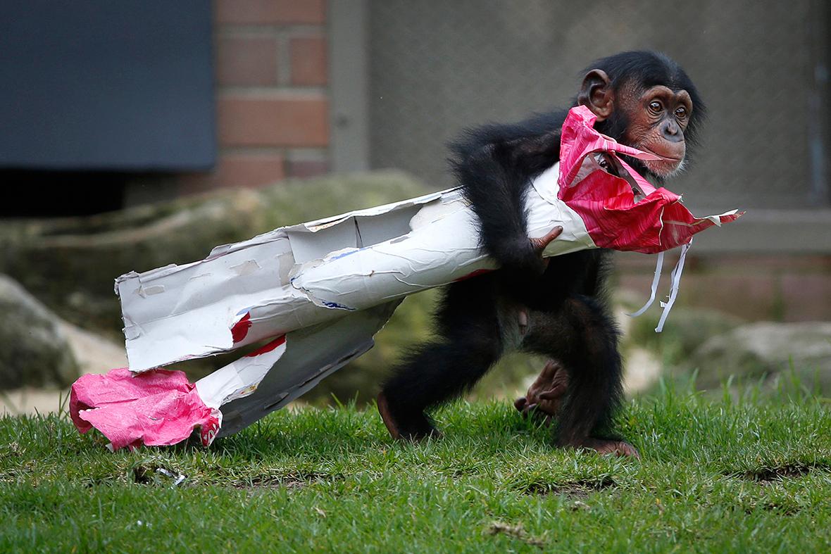 chimpanzee christmas present