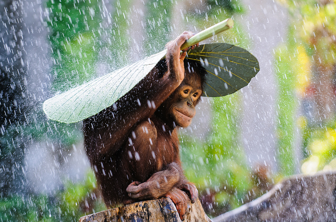 2015 Sony World Photography Awards orangutan rain andrew Suryono