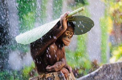 2015 Sony World Photography Awards orangutan rain andrew Suryono