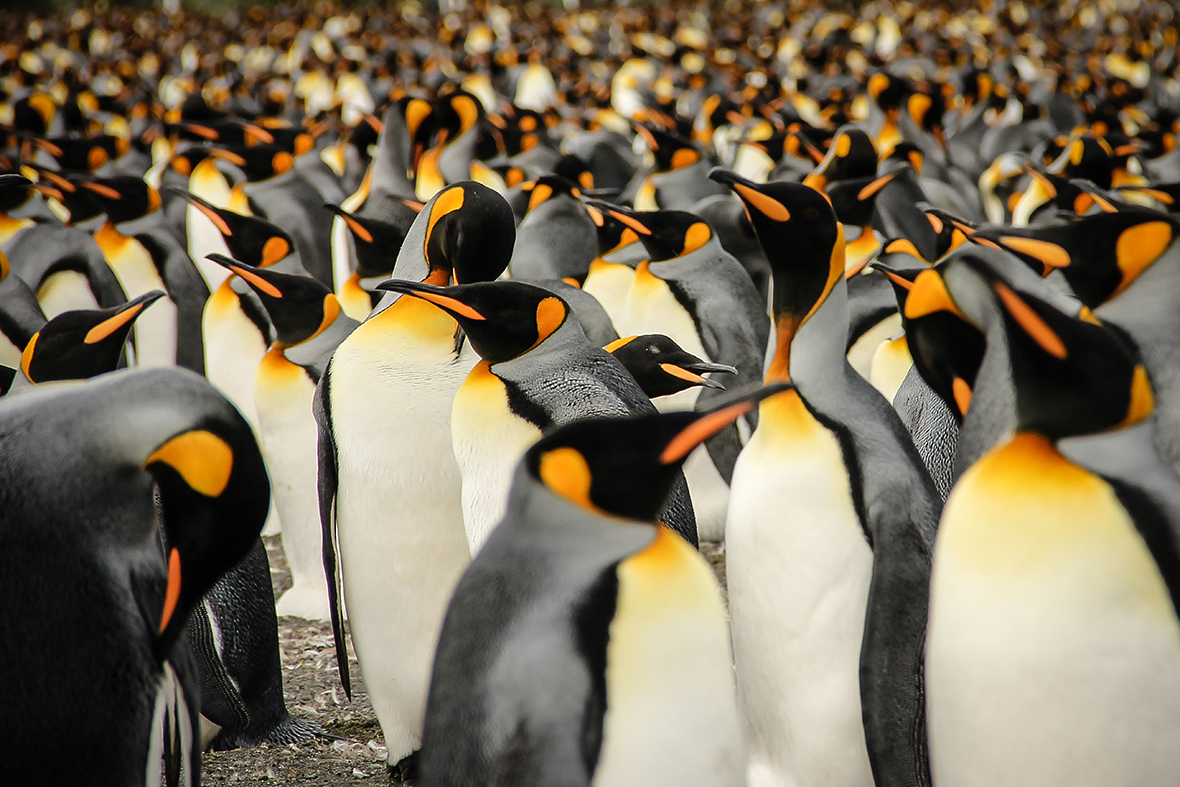 2015 Sony World Photography Awards Lisa Vaz king penguins