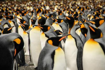 2015 Sony World Photography Awards Lisa Vaz king penguins