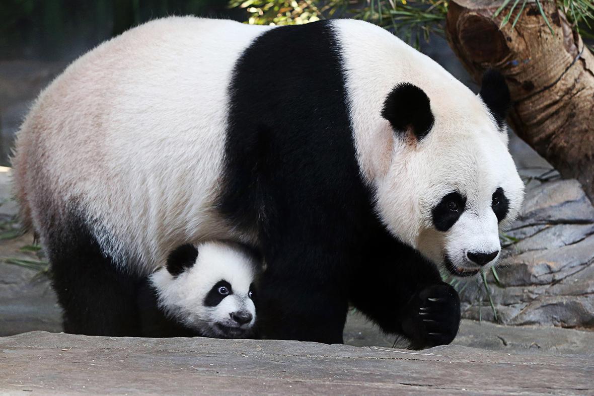Hot Shots Photos Of The Day Nano Bible Panda Cub Hong