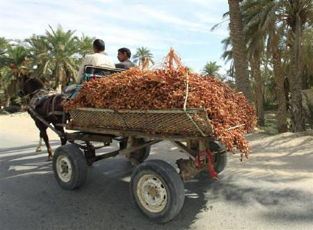 Algerian farmers transporting dates