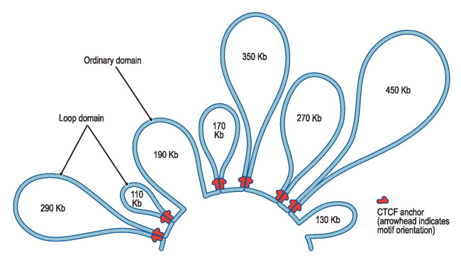 3d mapping of loops in human genome reveals structure and hidden 3d mapping of loops in human genome reveals structure and hidden switches ccuart Image collections