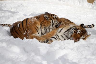 tigers snow