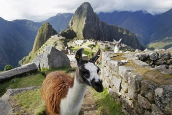 Llamas are seen in front of the Inca citadel of Machu Picchu in Cusco, Peru. Machu Picchu, a UNESCO World Heritage Site, is Peru's top tourist attraction, with the government limiting tourists to 2,500 per day due to safety reasons and concerns over the