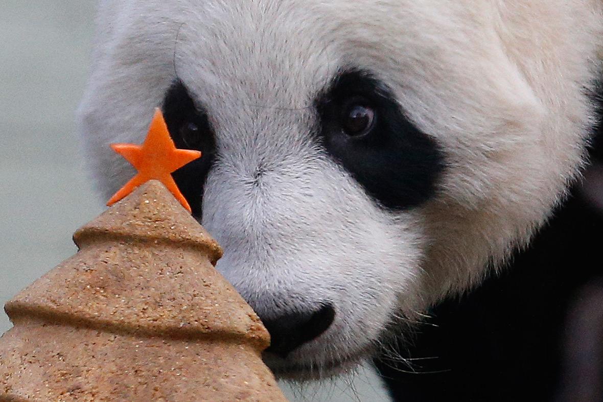 giant panda edinburgh