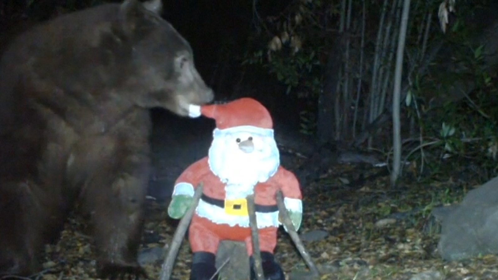 Bear attacks Father Christmas toy on hidden camera