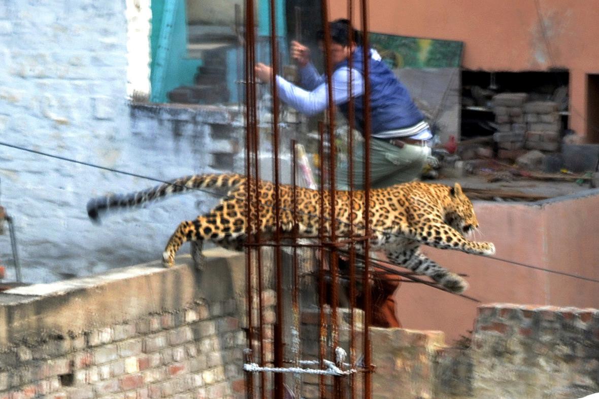 leopard building site
