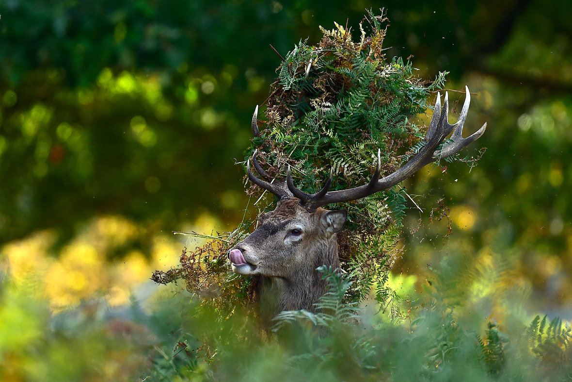 deer richmond park