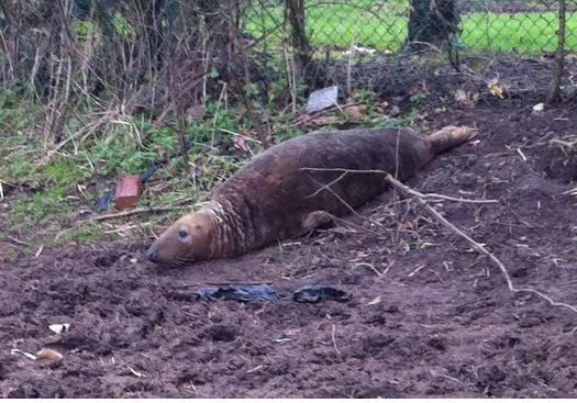 Seal found in Merseyside field