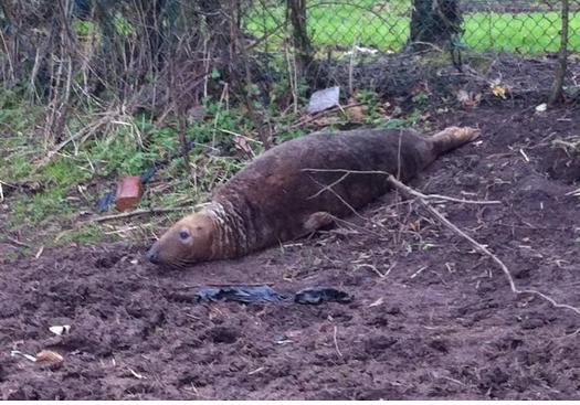 Seal found in Merseyside field