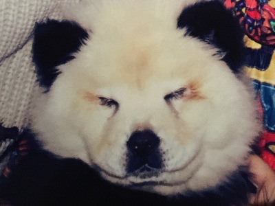 Panda Dogs orfei circus chow chow puppies