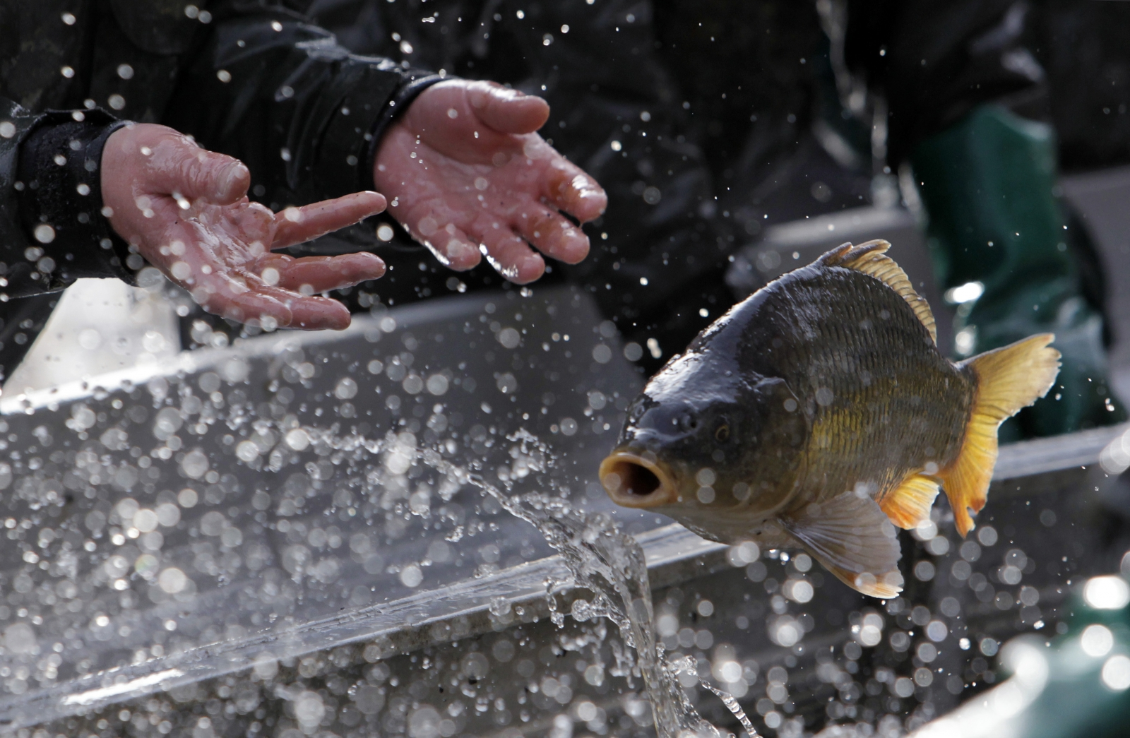 Christmas dinner fish swims in bathtub for days before for A fish in the bathtub