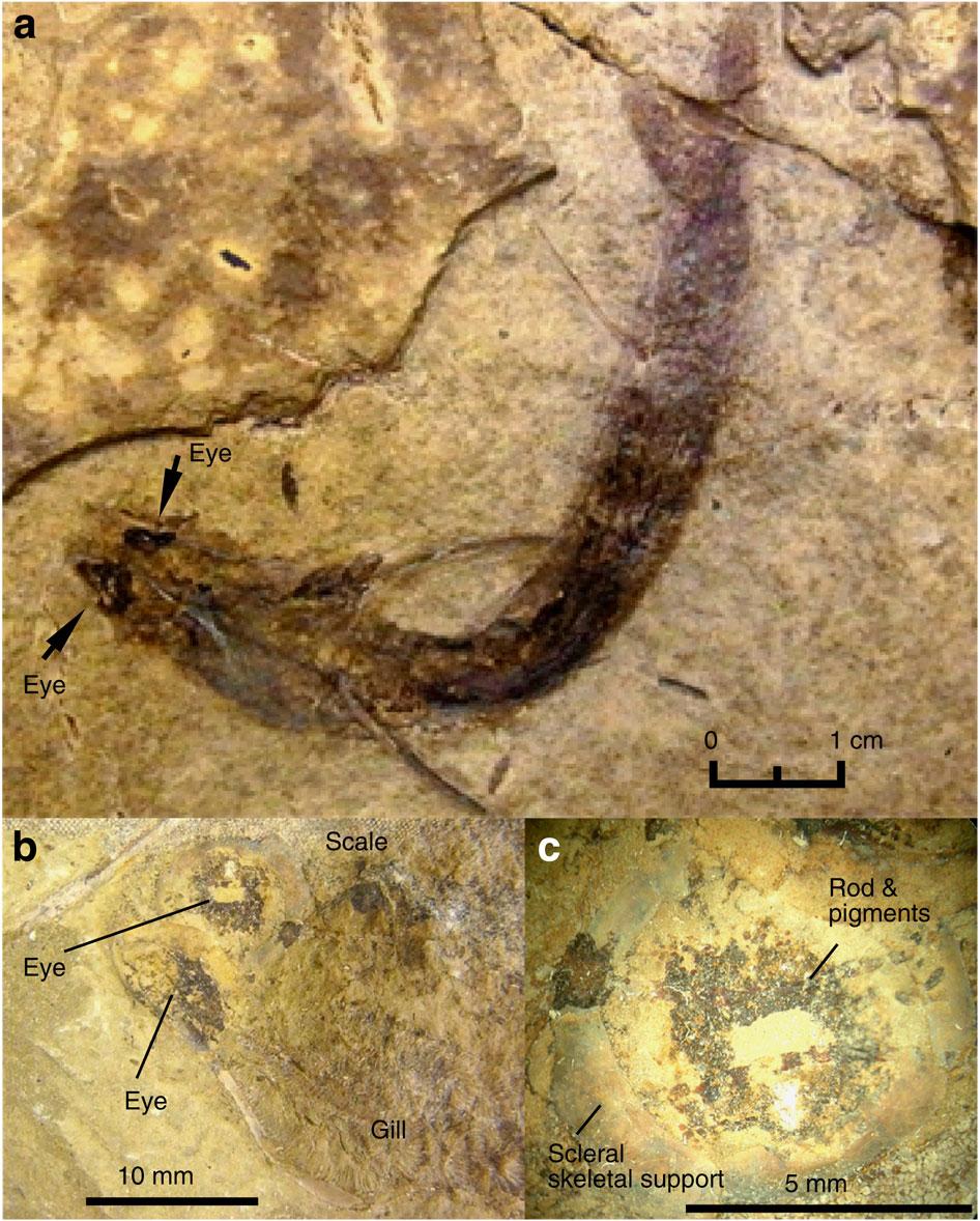 fossil fish eye