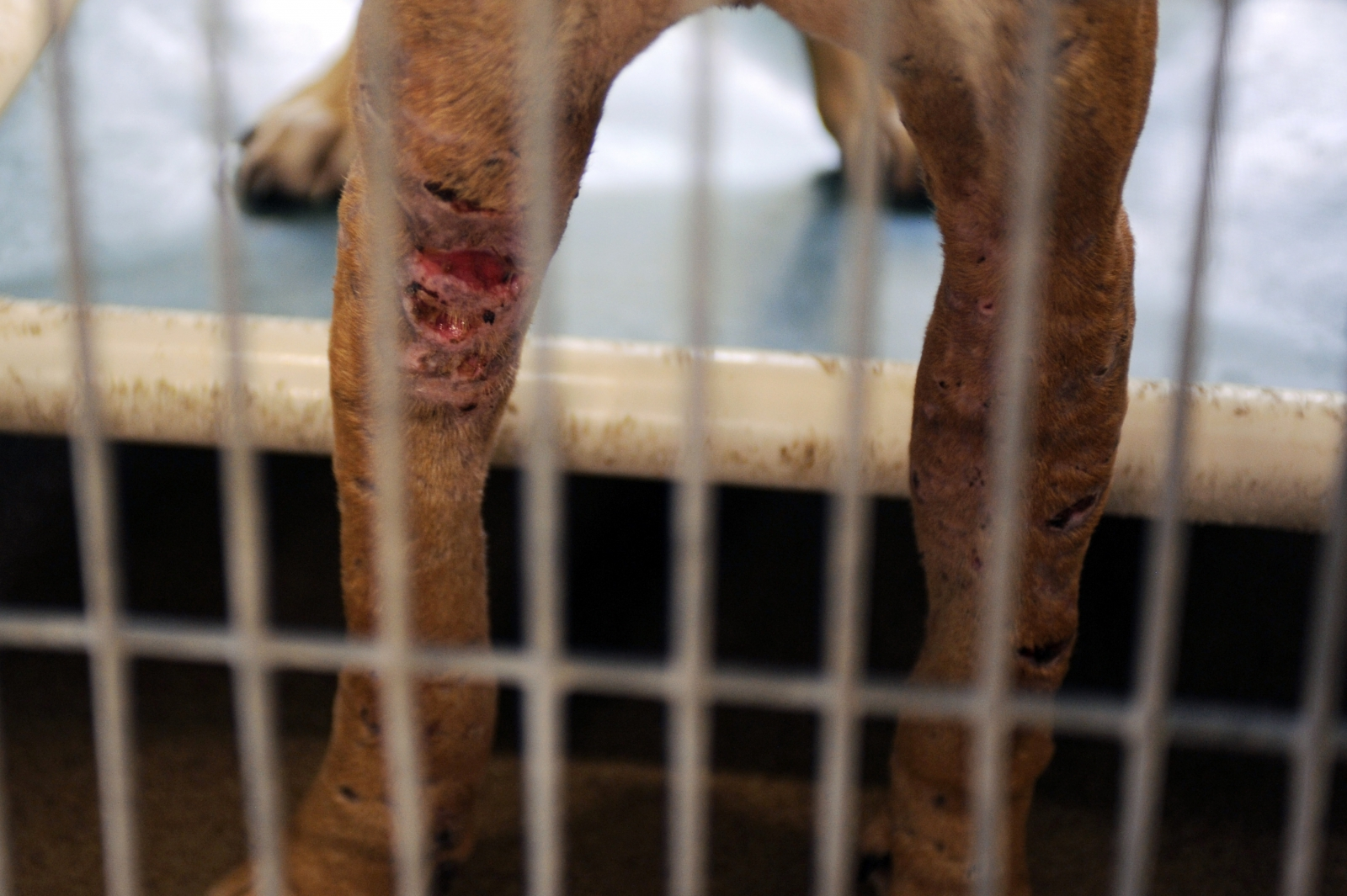 Dog seized by authorities from a dog fighting ring in Florida. (reuters)