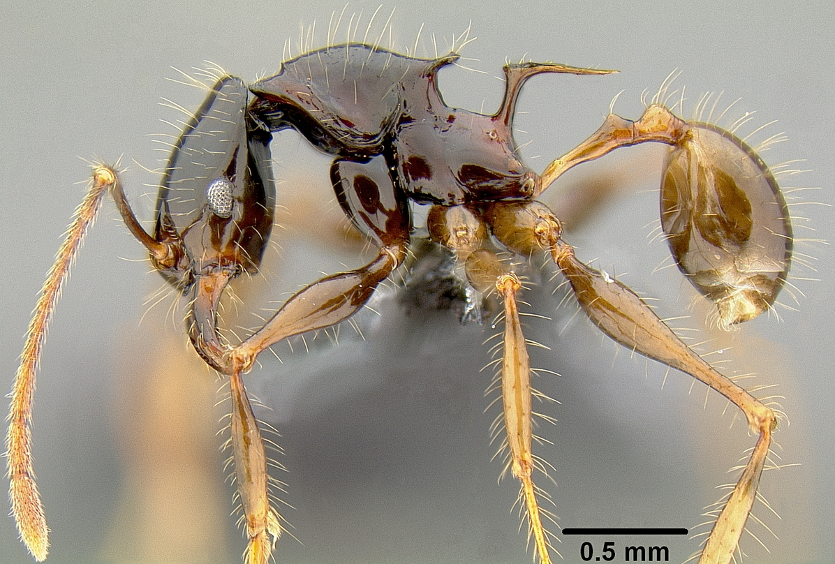 Evolutionary genetics study shows how ants conquered the world in two steps
