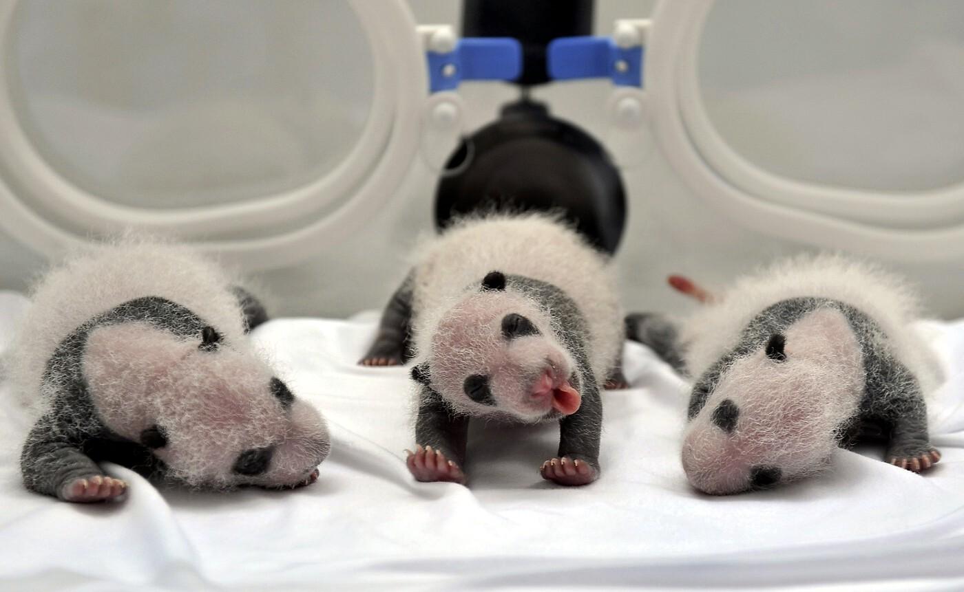 Animals of 2014 - Panda Triplets