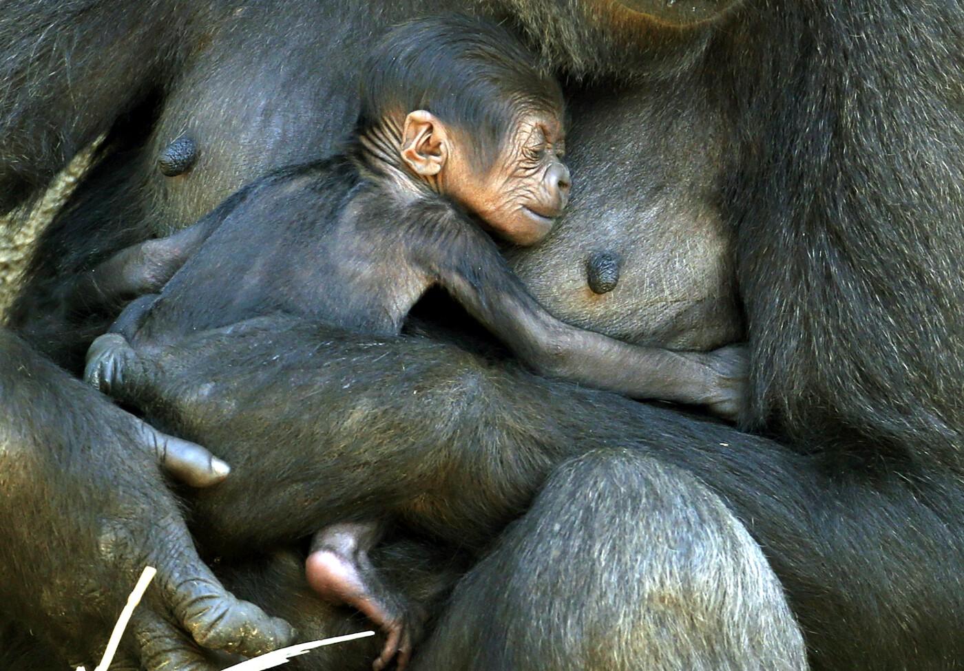 Animals of 2014 - Gorilla baby