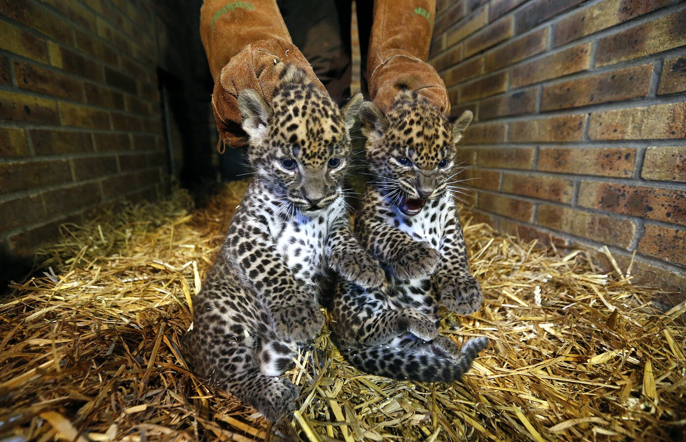 Animals of 2014 - Leopard cubs