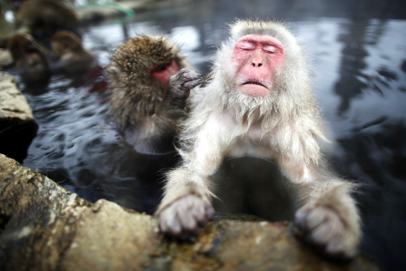 Animals of 2014 - Macaque snow monkeys
