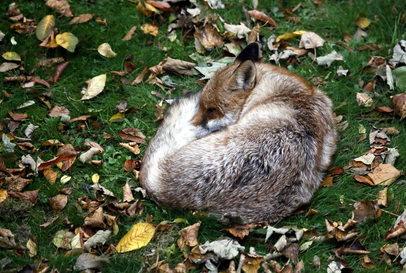 Animals of 2014 - Sleeping urban fox