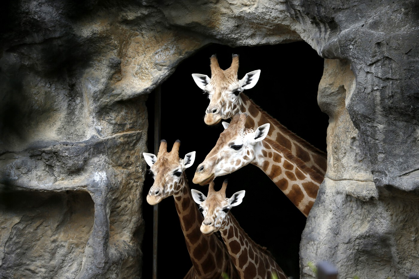 Animals of 2014 - Giraffe family