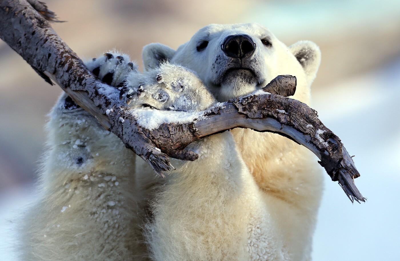 Animals of 2014 - Polar bear in Quebec
