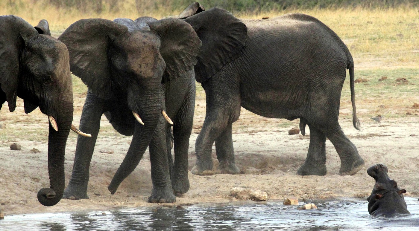 Animals of 2014 - Elephants and hippo