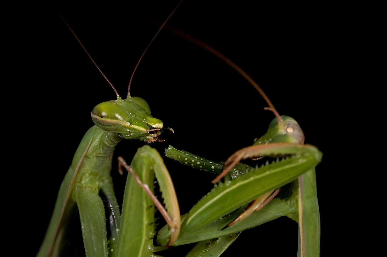 Aninimal Book: Why do female praying mantis eat males after sex ...