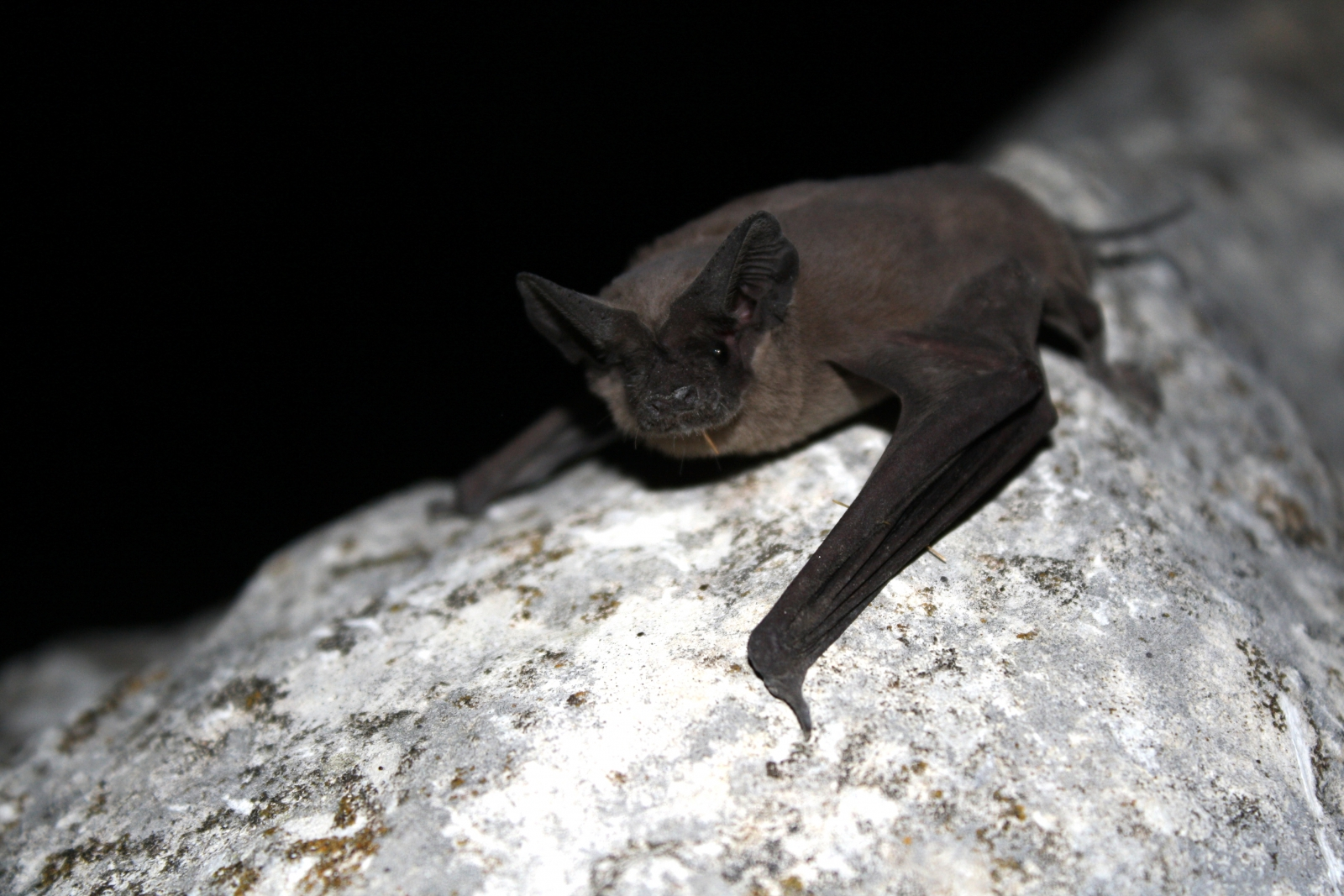 free-tailed bats