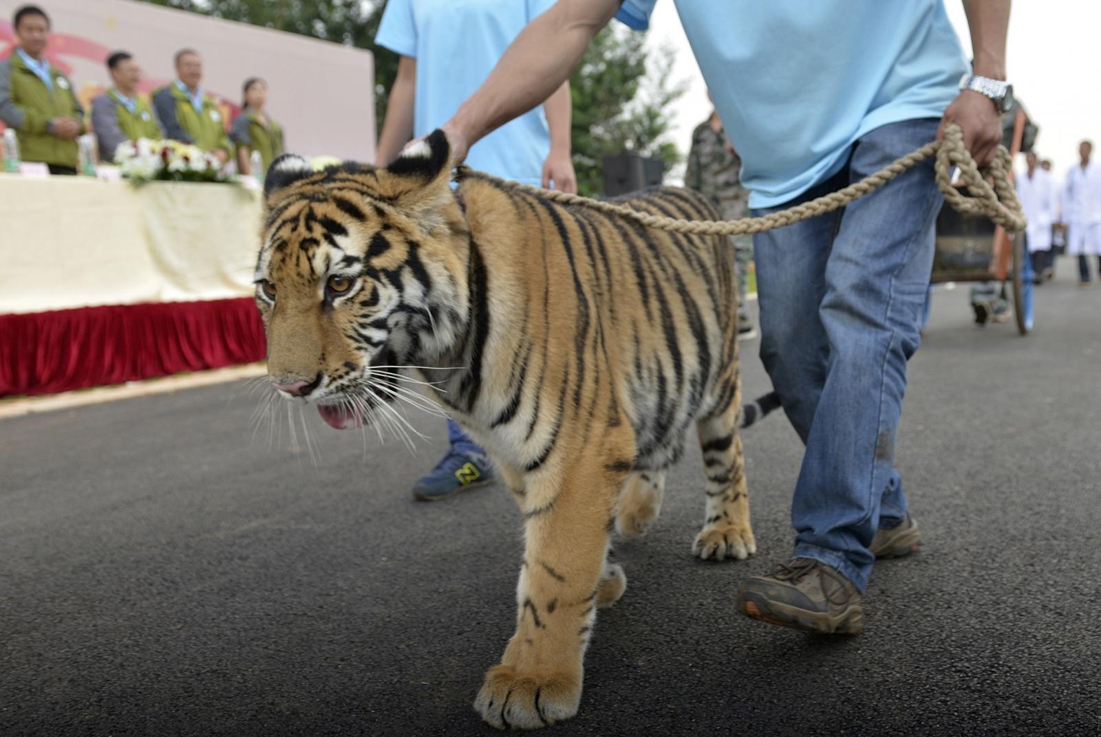 Tiger xu china eating tiger bones penis drinking tiger blood chinese medicine
