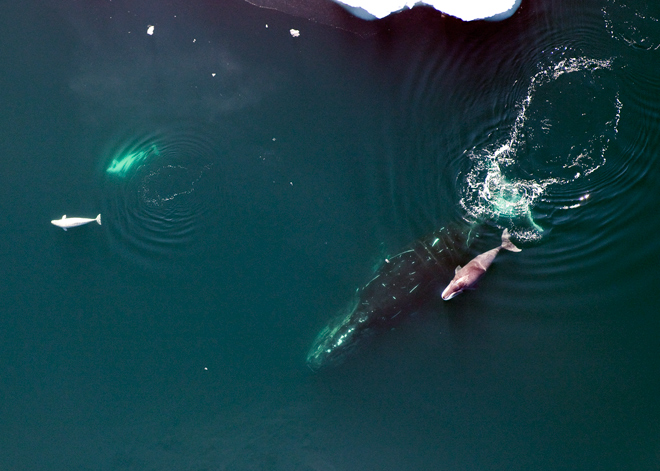 Studying the genetics of the Bowhead whale could lead to extending the the lifespan of humans