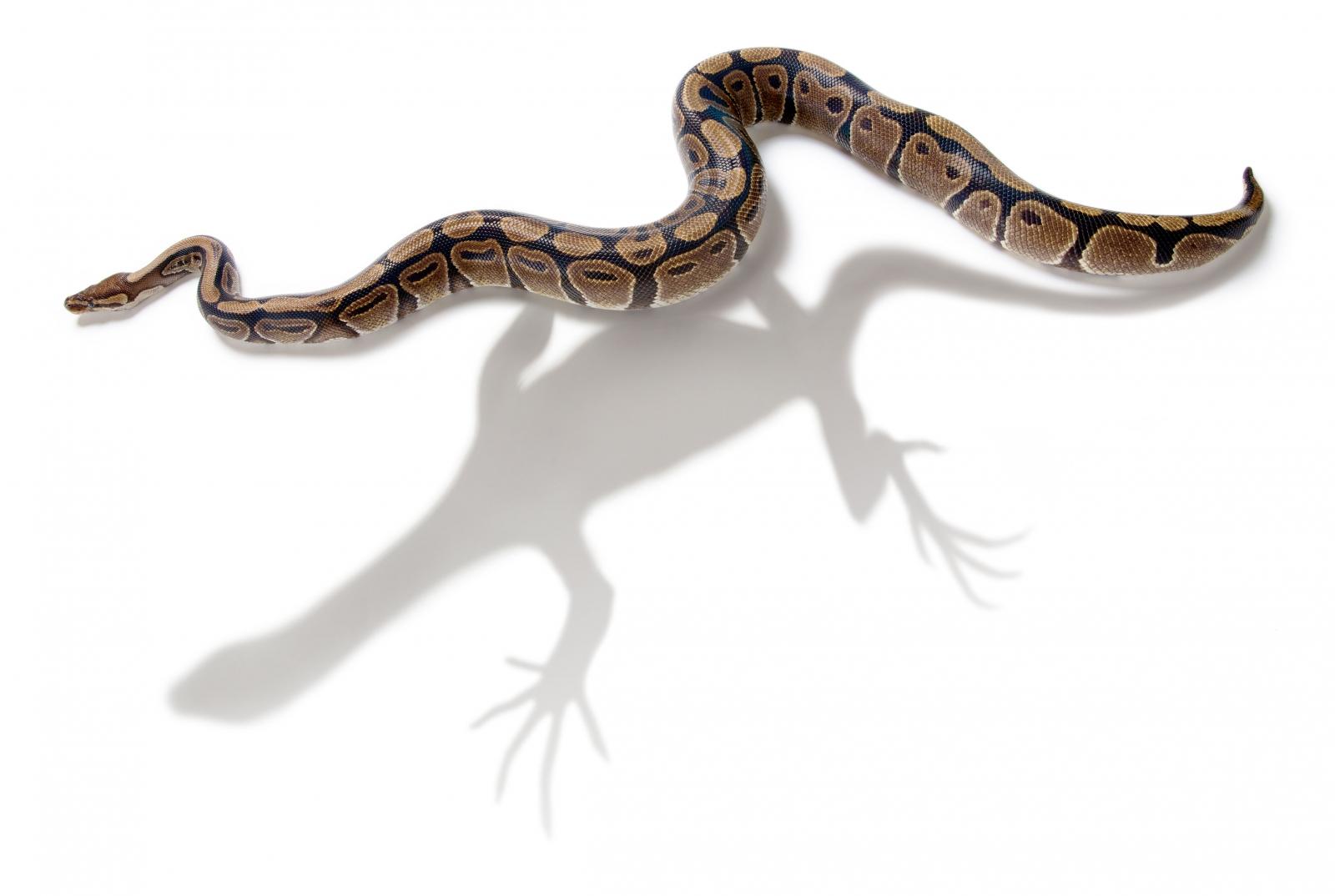Burrowing into the inner world of snake evolution