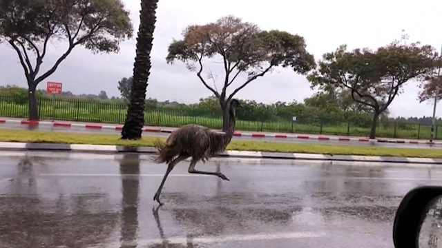 Runaway emu confuses drivers on the outskirts of Tel Aviv