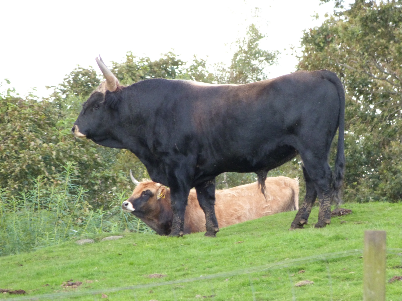 Cattle Breeds in New Zealand | Beef & Dairy Breeds | The Rural, NZ