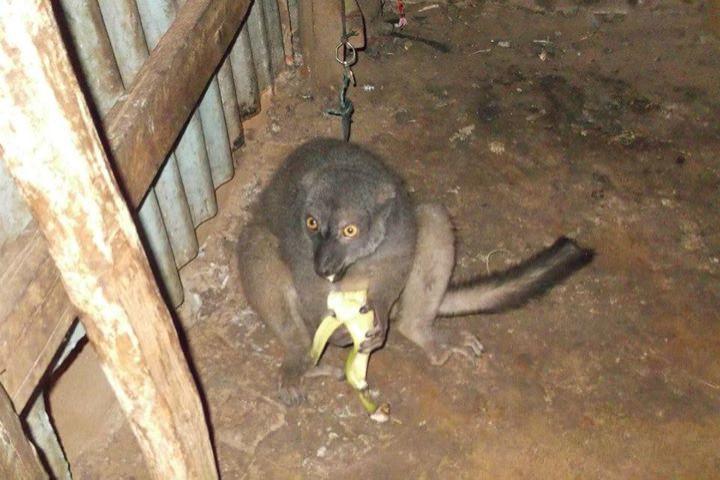 Madagascar: Lemurs being kept as pets pushing endangered species to extinction