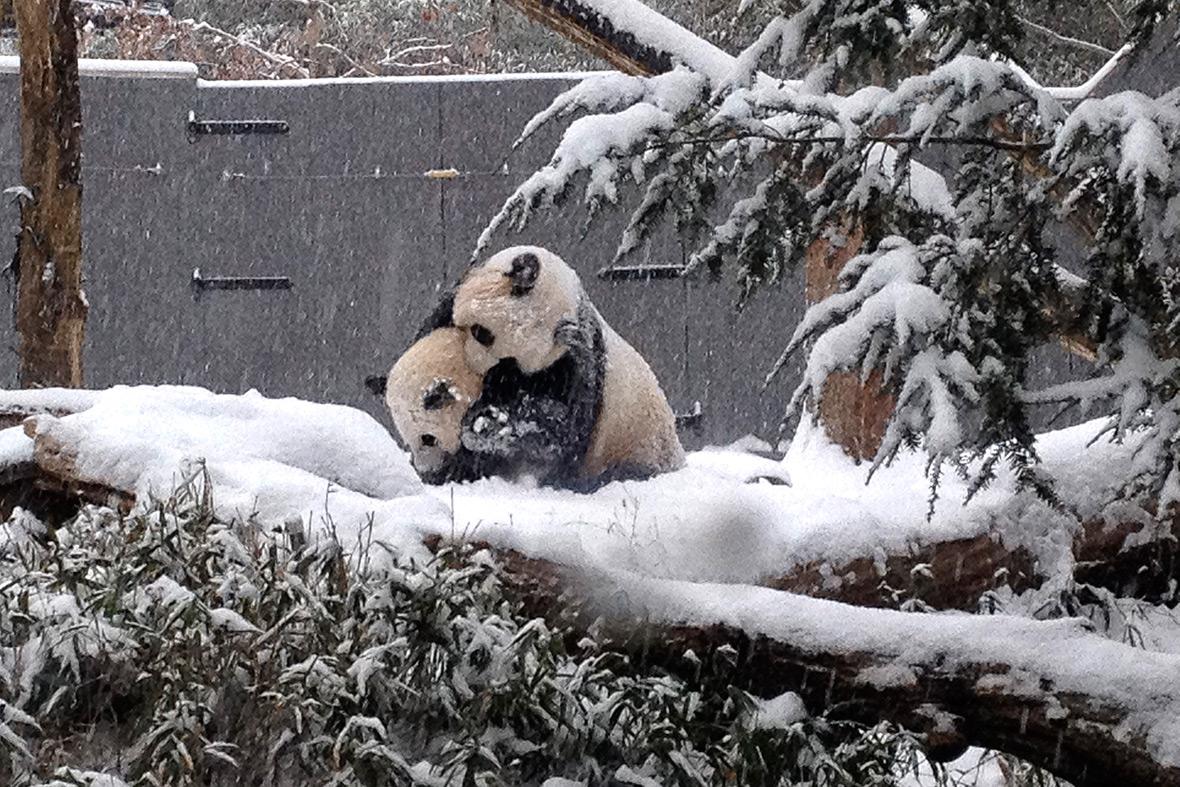 pandas snow