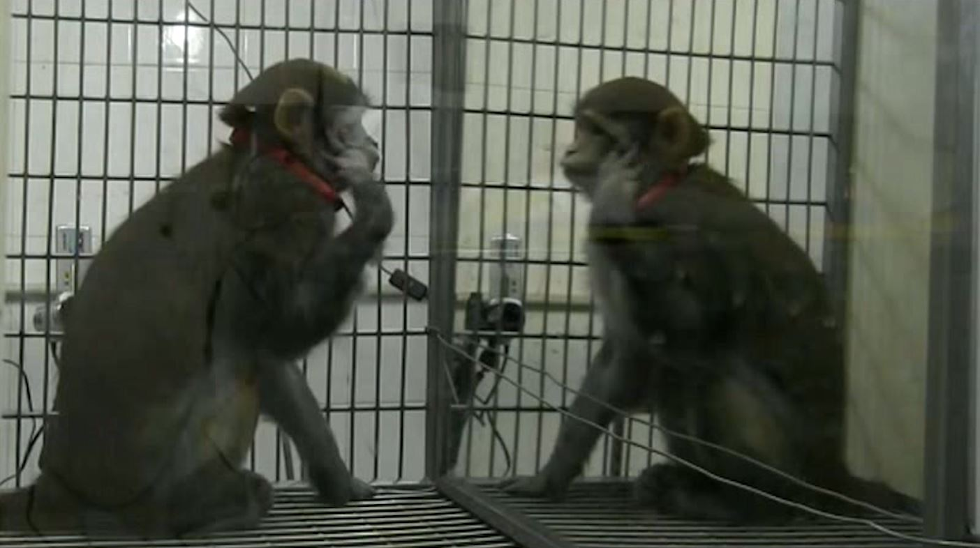 Monkeys recognise themselves in mirrors for first time