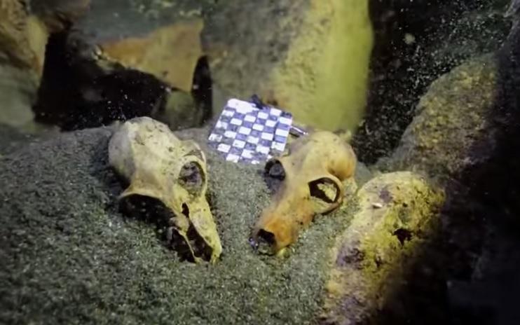 lemur skulls
