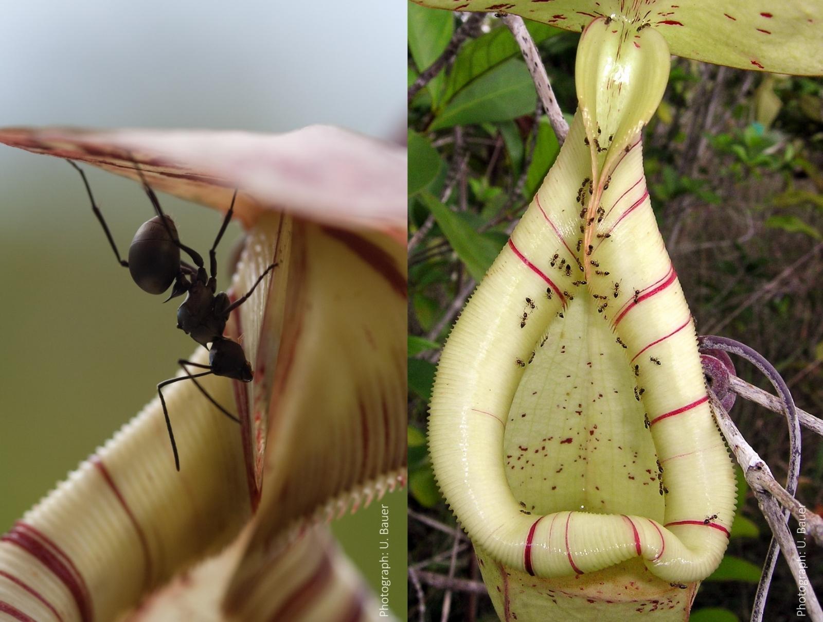 clever pitcher plants