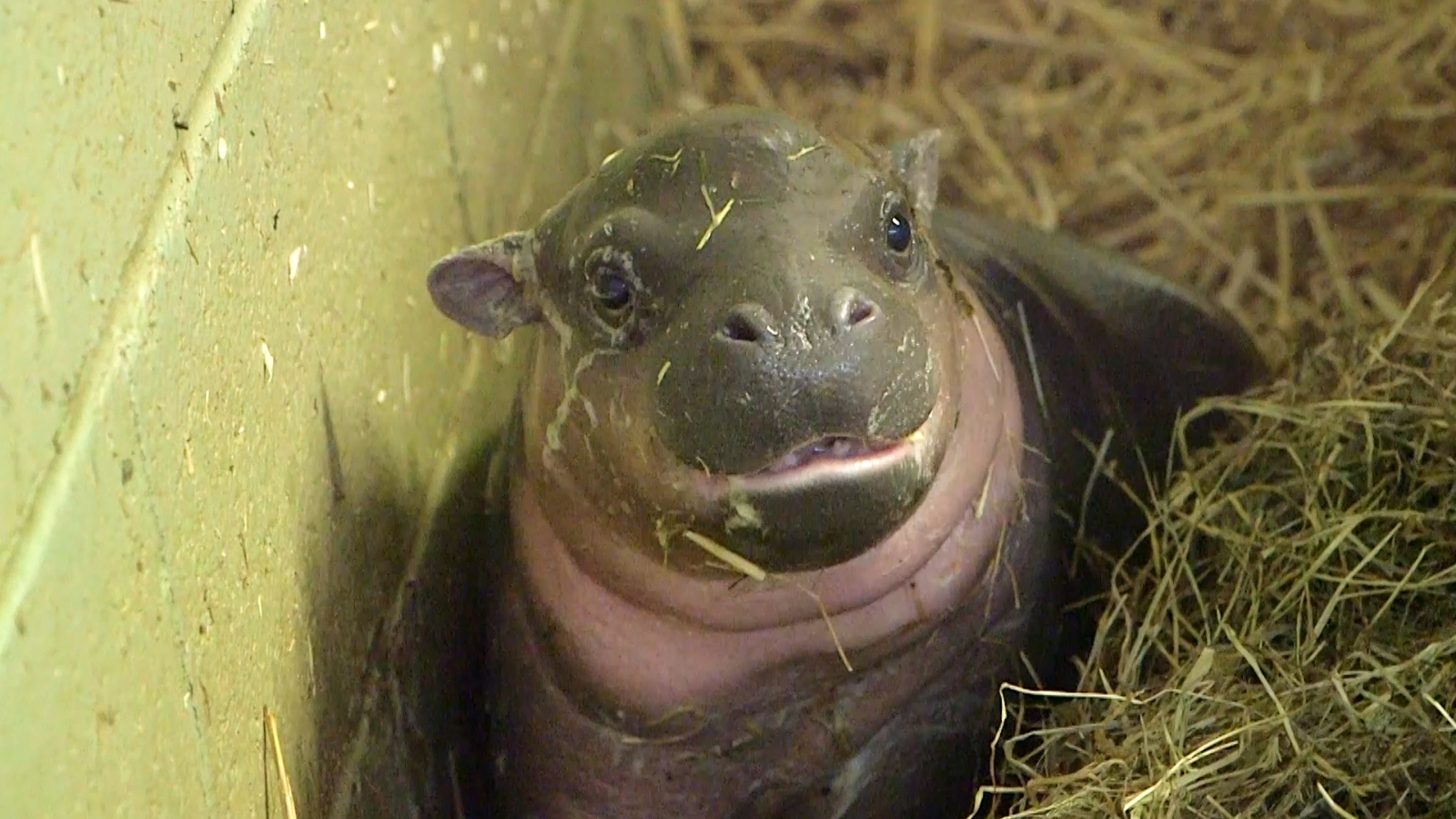 Endangered baby pygmy hippo born at Whipsnade Zoo