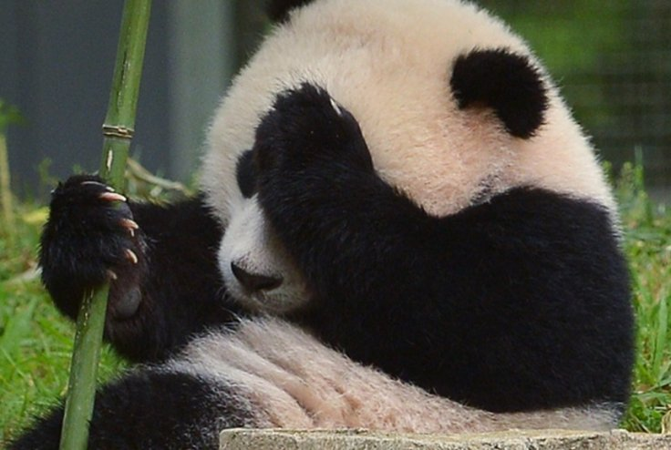Giant pandas dead from killer illness in China