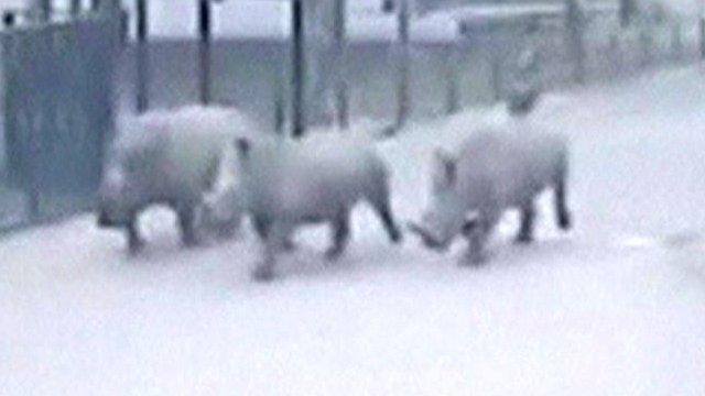 Three rhinos flee Israel's safari as guard falls asleep