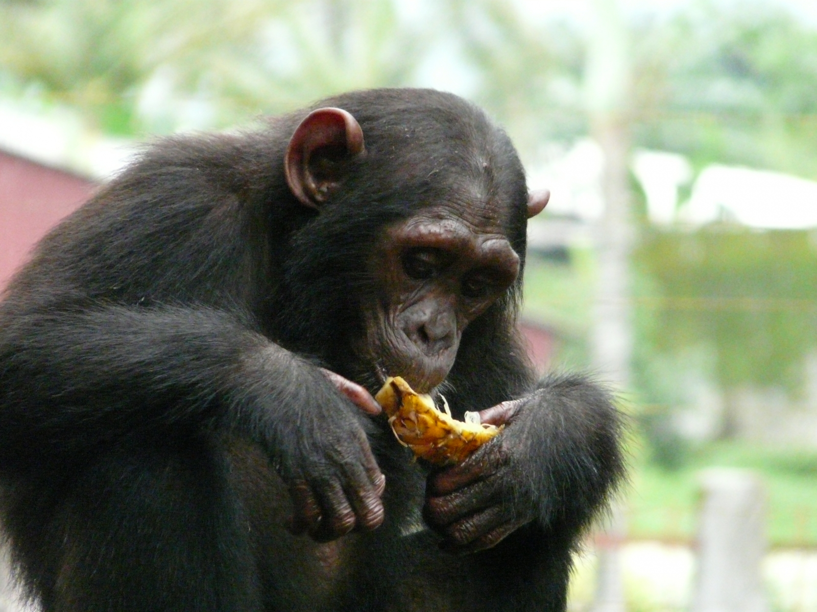 endangered chimpanzee