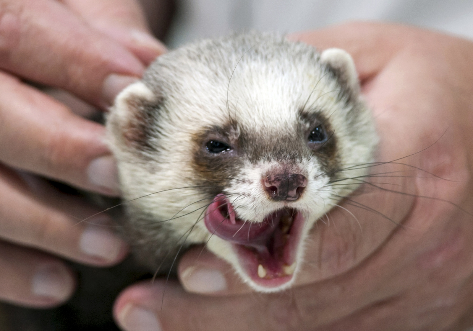 A baby in Pennsylania needed reconstructive surgery after being attacked by three ferrets. (Reuters)