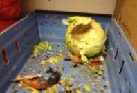 Grim: Cabbage gnawed by rats at Chick Inn in Walthamstow
